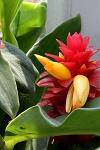 Spiral Ginger - Costus barbatus