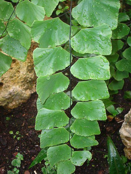adiantum peruvianum silver dollar maidenhair