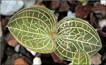 Anoectochilus brevilabris (Jewel Orchid)
