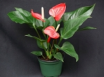"Anthurium - ""Small Talk"" Red"