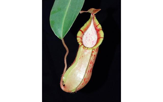 Nepenthes hamata x veitchii