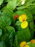 "Begonia ""Buttercup"""