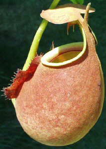 Nepenthes bicalcarata - Brunei Red Flush