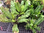 Bird's Nest Fern - Asplenium sp. 'Cobra'