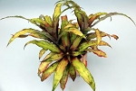 Cryptanthus 'Strawberry Flambe'
