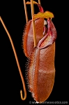 Nepenthes densiflora