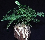 "Fern - Humata tyermanii ""White Rabbits Foot"""