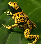 Dendrobates leucomela - Fine Spot (Adult Breeding Group of 5)