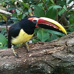 Green Aracari - Hand Fed Baby