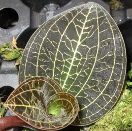Dossinochilus Dreamcatcher (Jewel Orchid)
