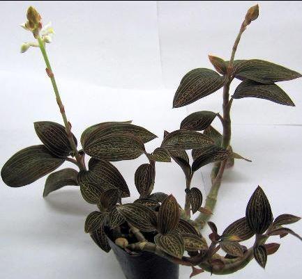 Ludisia X Lightning Jewel Orchid