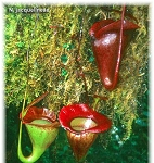 Nepenthes jacquelineae - Small
