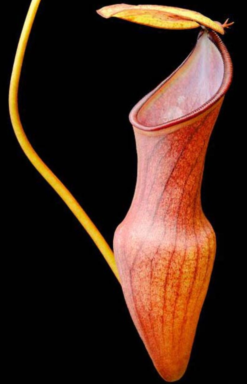 Nepenthes pervillei - PRE-ORDER - SHIPS MID JULY, 2019