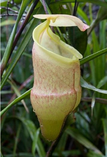 Nepenthes hamiguitanensis
