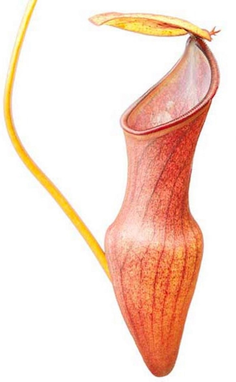 Nepenthes pervillei