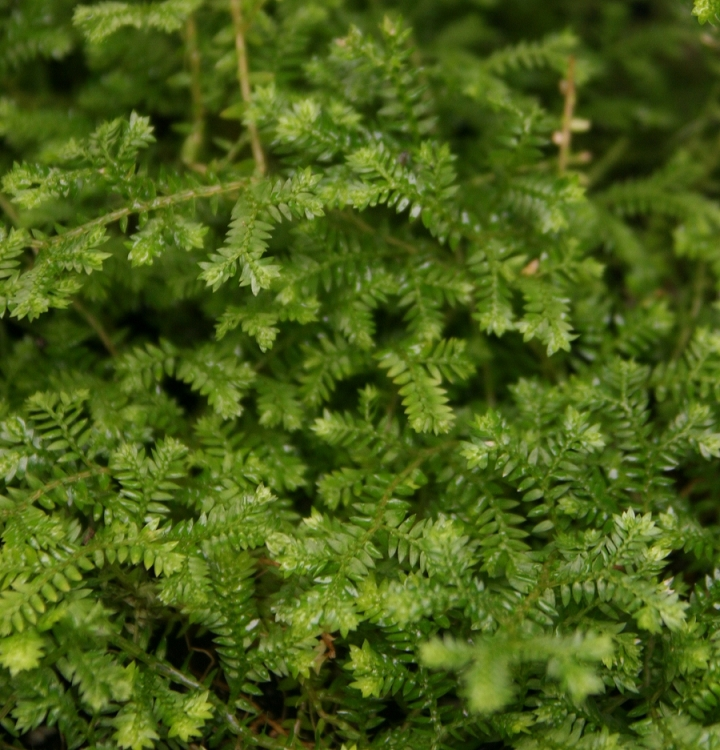 3 Plant Spike Moss Collection (Selaginella) (Growers Choice)