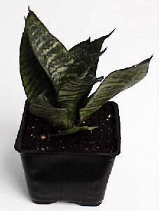 Sansevieria Assorted 3