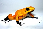 Tesoros de Colombia Frog - Phyllobates terribilis 'Black Foot Orange' (juvenile)