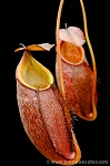 Nepenthes gymnamphora (Medium size)