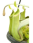 Nepenthes albomarginata - Brunei Green