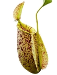 Nepenthes rafflesiana x ampullaria (PRESALE - WE EXPECT TO SHIP MID JUNE)