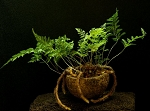Pod Planter - Rabbit's Foot Fern