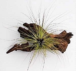 Tillandsia filifolia