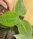 Macodes Lemon and Lime (white veins) (Jewel Orchid)