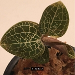 Ludochilus Turtle Back (Reciprocal) (Jewel Orchid)
