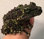 Vietnamese Mossy Frog  (Theloderma corticale) - froglet