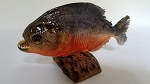 Piranha (preserved) Large 6-7