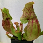Sarracenia 'Red Apache'