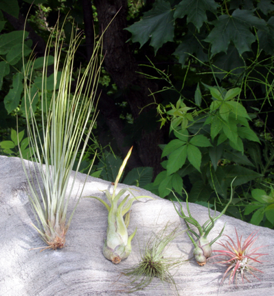 Tillandsia Sampler