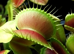 Venus Fly Trap -
