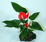 Hawaiian Rock Plant- Anthurium Small Talk Red
