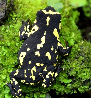 Frog - Melanophryniscus stelzneri - Bumble Bee Walking Toad CB