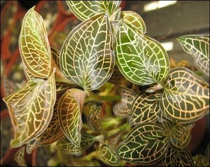 Plant Collection - Jewel Orchid - 3 Assorted (Growers Choice)