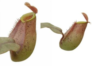 Nepenthes ampullaria - Brunei Speckled