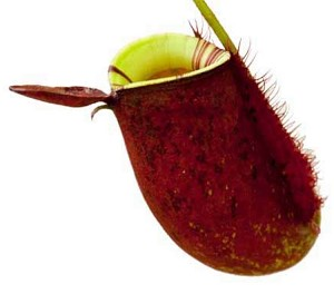 Nepenthes ampullaria - (BE-3390)