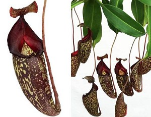 Nepenthes maxima x talangensis