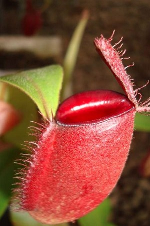 Nepenthes ampullaria - (William's Red x Harlequin) PRE-ORDER - SHIPS MID JULY, 2019