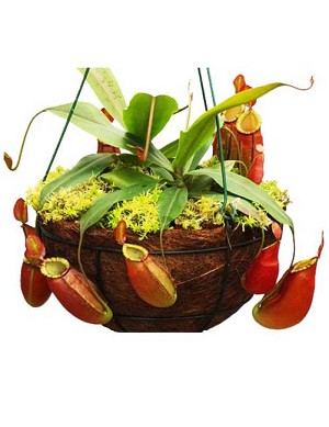 Lowland Nepenthes Value Collection (Growers Choice)