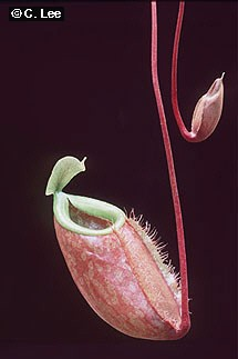 Nepenthes bellii 'Orange'