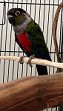 Hand-Fed Baby Crimson Belly Conure (Pre-Order to reserve now)