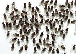 Fruit Fly Feeder Culture (D. hydei)