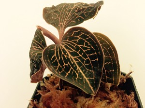 Anoectochilus 'Bette' (JEWEL ORCHID)