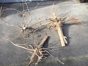 Jungle Root - S (1-2')  (CALL FOR SHIPPING QUOTE, ACTUAL S&H RATES APPLY)