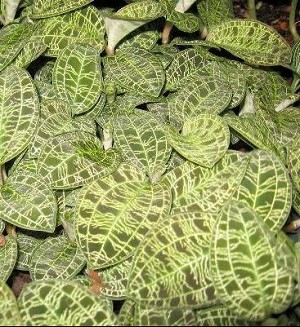 Macodes petola (Jewel Orchid)