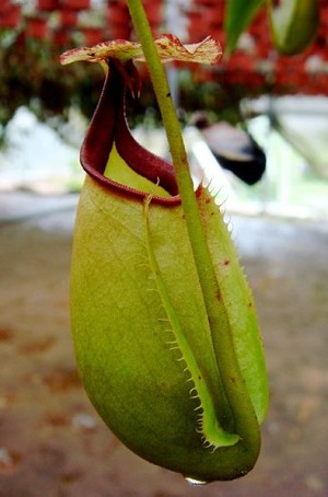 Nepenthes bicalcarata - Sri Aman