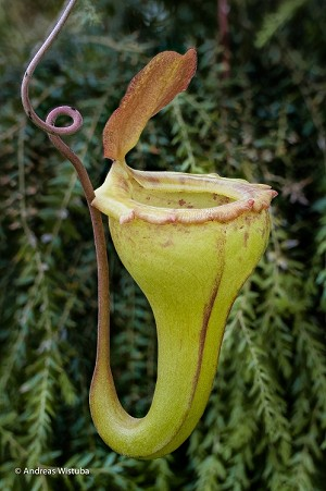 Nepenthes flava